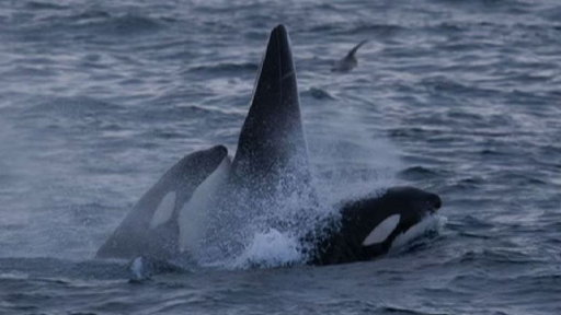 Killer Whales vs. Minke Whale Video