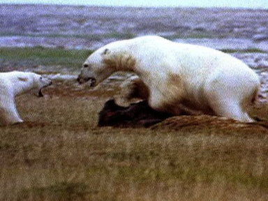 Polar Bear vs. Polar Bear: Food Snatch Video