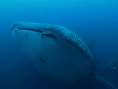 Just One Frame: Whale Shark Video