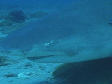 Lemon Sharks Video