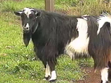 Fainting Goats Video
