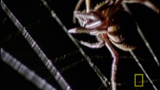 Örümcek Ölü yarasa (National Geographic)