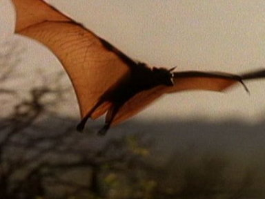 [Meet the World's Biggest Bat]