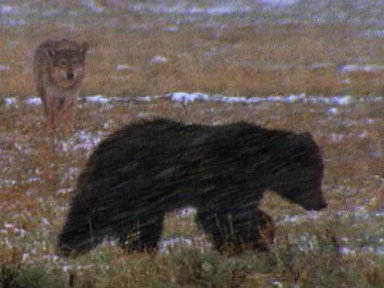 Grizzly Bears vs. Wolves Video