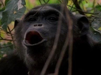 chimpanzee mating with human