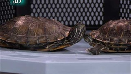 [UFC Turtle Fight!]